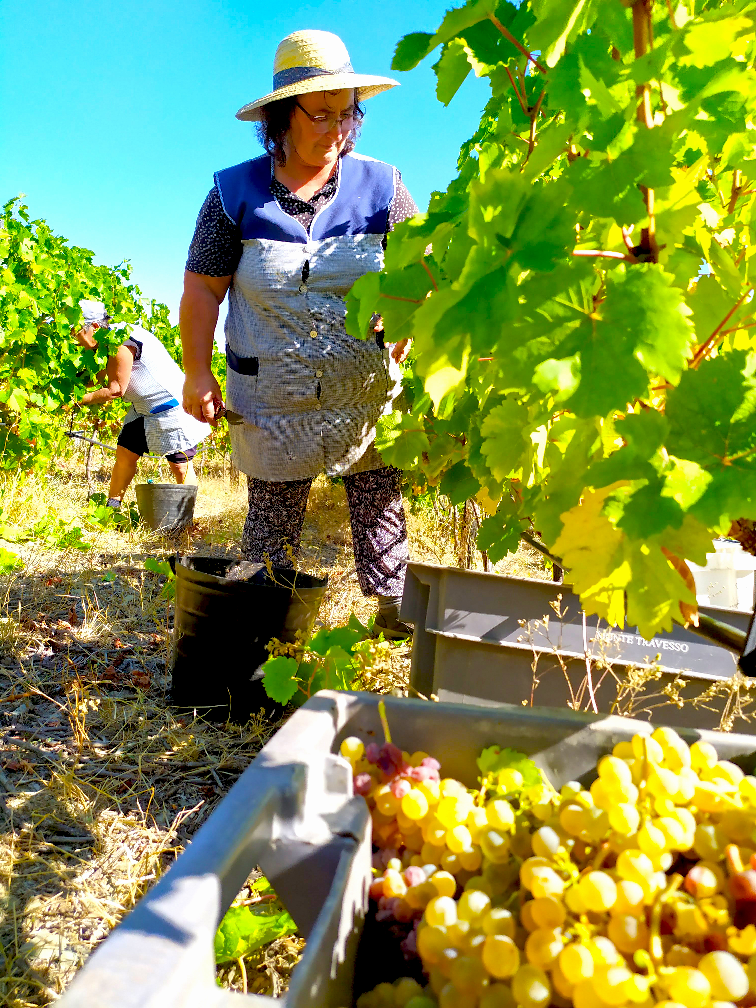 douro valley harvest time
